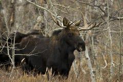 Alces novos de Bull Foto de Stock Royalty Free