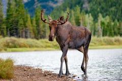 Alces novos de Bull que andam do lago imagens de stock
