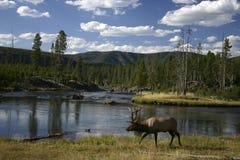 Alces que andam ao longo de um rio Imagens de Stock Royalty Free