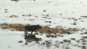 Alces que caminan en el pantano, primavera Reserva de Cepkeliai, Lituania metrajes