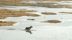 Alces que caminan en el pantano, primavera Reserva de Cepkeliai, Lituania almacen de metraje de vídeo