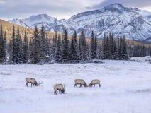 Alces salvajes en el parque nacional de Banff del invierno Imagenes de archivo