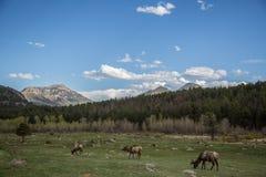 Alces salvajes en un campo en Colorado Fotos de archivo