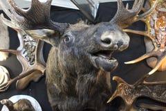 Alces salvajes rellenos foto de archivo