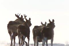 Alces Saskatchewan de la pradera Imagen de archivo libre de regalías