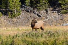 Alces solitarios del toro que colocan el borde cercano del río Foto de archivo libre de regalías