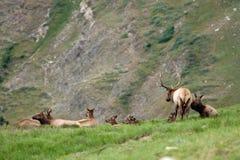 Alces y vacas de Bull Foto de archivo