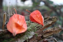 Alchechengio nel proprio giardino in Germania in Baviera immagine stock libera da diritti