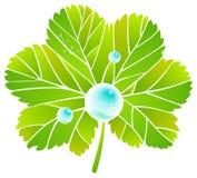 alchemilla φύλλο δροσιάς Στοκ φωτογραφίες με δικαίωμα ελεύθερης χρήσης
