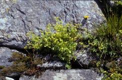 Alchemilla alpina Stockbilder