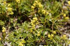 Alchemilla alpina, alpina dell'alchimilla Fotografia Stock