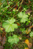 Alchemilla, Lady's mantle. Royalty Free Stock Photo