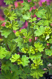 Alchemilla Royalty Free Stock Photo