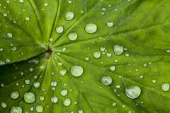 Alchemilla, Lady's Mantle with teardrops, Lower Saxony, Germany Stock Photo