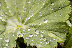 Alchemilla leaf with dew drops Royalty Free Stock Photography