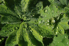 Alchemilla leaves Stock Images
