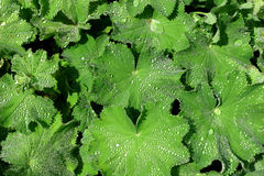 Alchemilla, the Medicinal Herb, Ladies Mantle. Herb Ladies Mantle, (Alchemilla)spattered in raindrops. The herb is used in medicine for female disorders Royalty Free Stock Photo