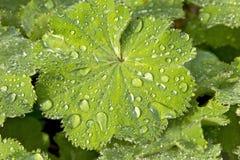 Alchemilla mollis Royalty-vrije Stock Foto's