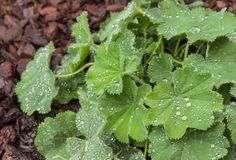 Alchemilla mollis leaves with rain drops Royalty Free Stock Images