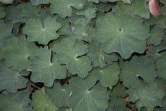 Alchemilla mollis liści tło obraz stock