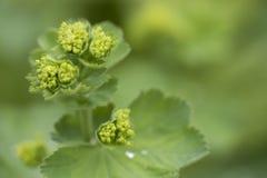 Alchemilla mollis - odwiecznie zielna cierpnięcie roślina, naturalna obrazy stock