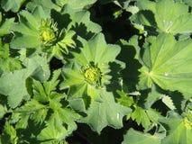 Alchemilla mollis - ogrodowa damy ` salopa zdjęcie royalty free