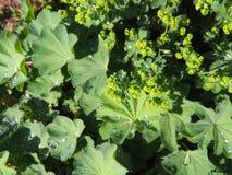 Alchemilla mollis - ogrodowa damy ` salopa zdjęcia royalty free