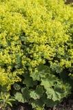 Alchemilla Alchemilla mollis roślina zdjęcie stock