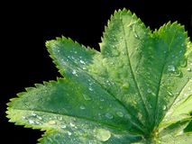 Alchemilla pratensis Royalty Free Stock Photography