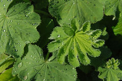Alchemilla after rain Stock Photo