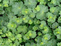 Alchemilla with raindrops Stock Photography