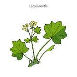 Alchemilla vulgaris, common lady mantle Royalty Free Stock Photos