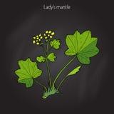 Alchemilla vulgaris, common lady s mantle Stock Photos