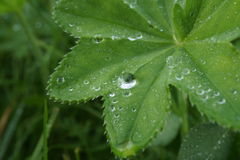 Alchemilla vulgaris after rain Royalty Free Stock Photography