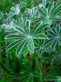 alchemillaalpina Royaltyfria Bilder