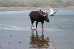 Alci adulte del toro di Shiras che camminano vicino alla riva del lago Fishercap nei molti regione del ghiacciaio di Glacier Nati Fotografia Stock Libera da Diritti
