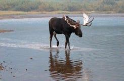 Alci adulte del toro di Shiras che camminano vicino alla riva del lago Fishercap nei molti regione del ghiacciaio di Glacier Nati Fotografia Stock