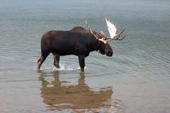 Alci adulte del toro di Shiras che camminano vicino alla riva del lago Fishercap nei molti regione del ghiacciaio di Glacier Nati Immagine Stock