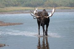 Alci adulte del toro di Shiras che camminano vicino alla riva del lago Fishercap nei molti regione del ghiacciaio di Glacier Nati Fotografie Stock Libere da Diritti