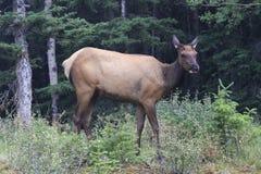 Alci - Alberta - Canada fotografia stock libera da diritti