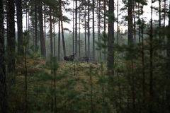 Alci alla foresta Fotografia Stock Libera da Diritti