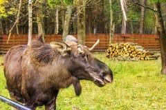 Alci Antlered selvaggi del toro durante il calore immagine stock libera da diritti