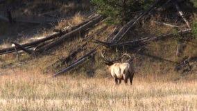 Alci Bugling del Bull in prato archivi video
