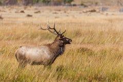 Alci Bugling del toro in carreggiata Fotografia Stock