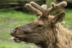 alci, canadensis di cervo Fotografia Stock Libera da Diritti