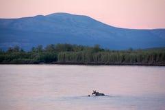 Alci che attraversano entroterra Russia del fiume di Kolyma Immagini Stock Libere da Diritti