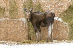 Alci che mangiano alfalfa in Montana Haystack immagini stock