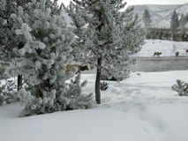Alci che si alimentano nella neve in Yellowstone NP immagine stock