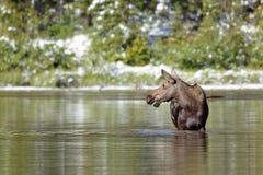Alci che si alimentano in un lago alpino Fotografie Stock
