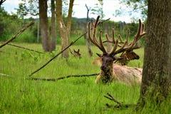 Alci che si rilassano e che mangiano nell'erba dietro gli alberi ed i rami Immagini Stock Libere da Diritti